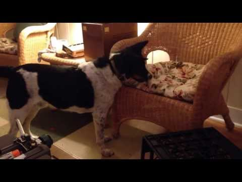 Australian Cattle Dog - Border Collie Mix: Mr. Jake Tries to Fix a Problem