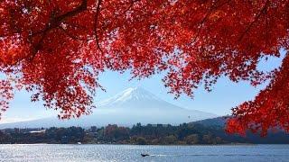 Mt.Fuji & autumn leaves at Momiji Tunnel 河口湖もみじトンネルの紅葉と富士山 / Видео