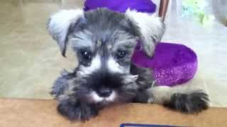 Miniature Schnauzer Puppy Barking