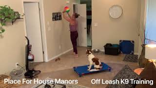 "9 Month Old Kooikerhondje ""Kodi""   Daytona Dog Trainers   Central Florida Dog Trainers"
