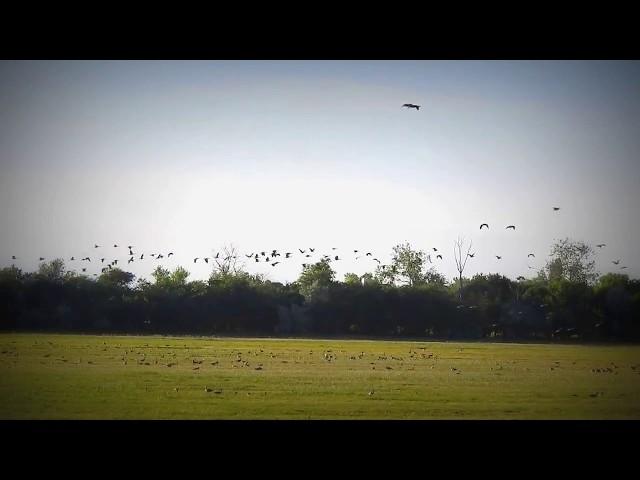 Wild Goose Summer  Vadludak (Anser anser) Nyár