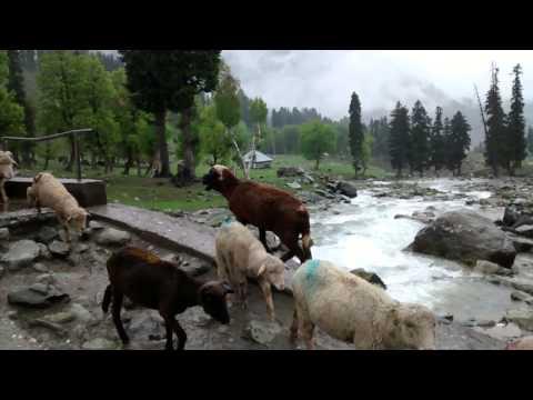 Sheep in Kashmir