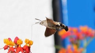 Удивительный бражник - колибри или насекомое?