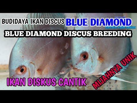 Blue Diamond Discus Fish Cultivation, Beautiful Discus Fish, Unique Spawn !!!