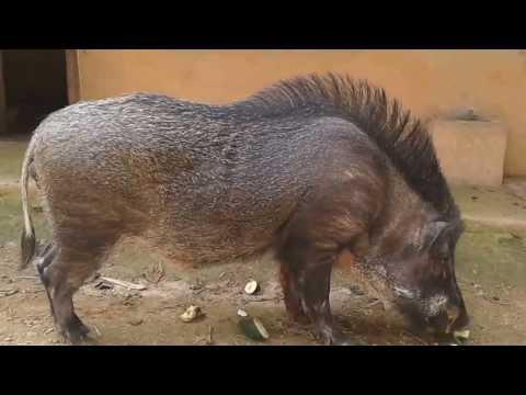 Lợn rừng Phú Thọ 2014, Heo Rừng giống - thịt