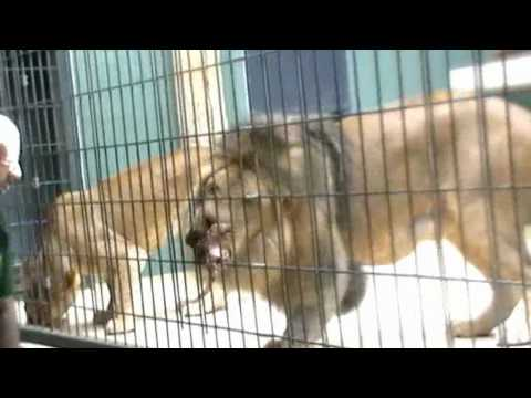 berlin-zoo---lions-getting-food-part-01