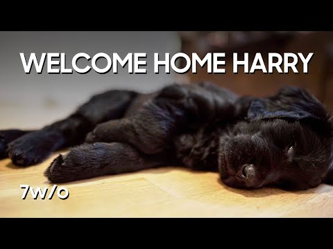 Welcome home Harry (7 weeks old)