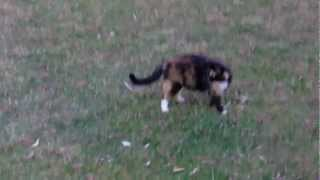 енотовидная кошка,cat-raccoon...