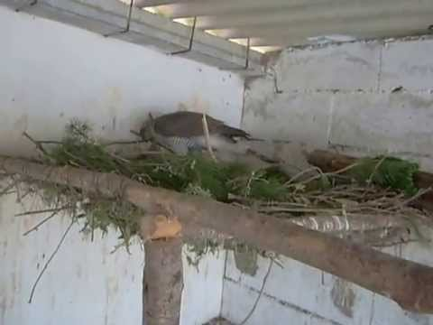 cetraria femea de açor cortejo e construçao do ninho 2.