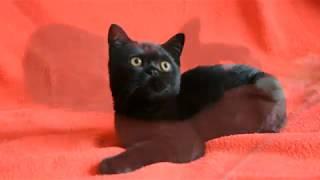 Купить черного шотландского котенка - предлагаем: черные котята-мальчики скоттиш-страйт.