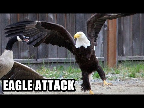 Best Eagle Attacks; World's Largest and Deadliest, Bald and Golden Eagles!