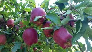 แอปเปิ้ลสดๆ จากต้นที่อเมริกา/เก็บผลไม้ต่างประเทศ/ ชีวิตในอเมริกา /looking  at apple trees .