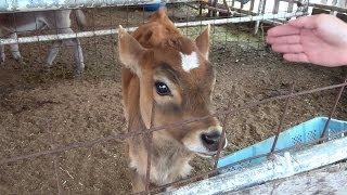 富士ミルクランドの可愛いジャージー牛の子牛  富士山の恵み!Cute calf Jersey cow! Fuji ranch!