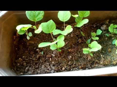 Вопрос: Растение спатодея, как выращивать?
