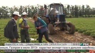 Выращивание клубники в России. Чем полезна клубника и земляника