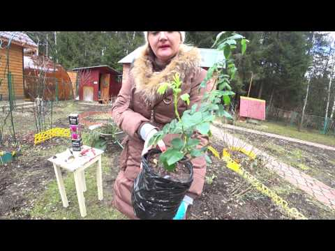 видео: РОЗА В КОРОБКЕ. ПОСАДКА РОЗЫ НА КЛУМБУ (ЧАСТЬ 2)