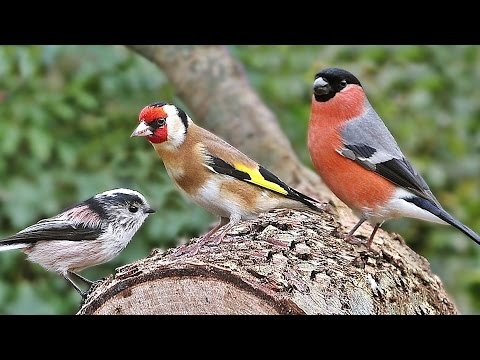 Bird Sounds and Bird Song Extravaganza : Videos for Cats to Watch and Birdsong