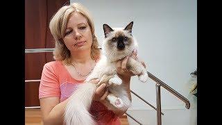 Презентация породы кошек Священная бирма от питомника PCA БЕЛЫЕ ЛАПКИ