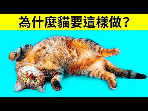 為什麼貓會在看到你的時候把肚皮翻過來