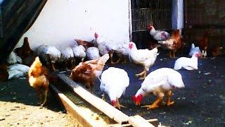 moje nioski i broilery :kury hodowla ekologiczna dobre i świeze jaja