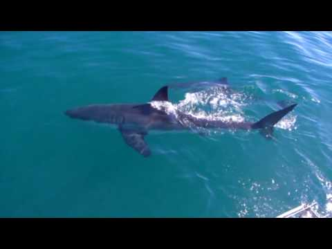 Great White Sharks @ Dyer Island Gansbay South-Africa