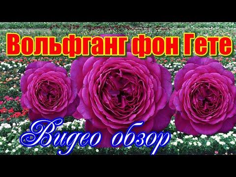 Обзор розы Иоганн Вольфганг фон Гете (Чайно гибридная) - Johann Wolfgang Von Goethe.(Evers2004)