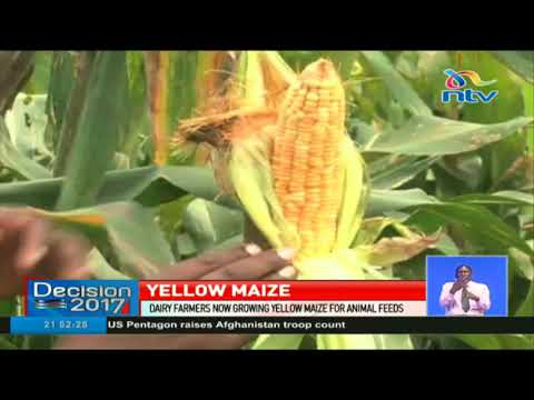 Dairy farmers now growing yellow maize for animal feeds