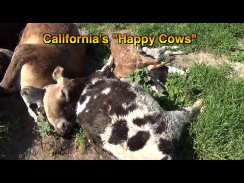 California Dairy Cruelty in the News