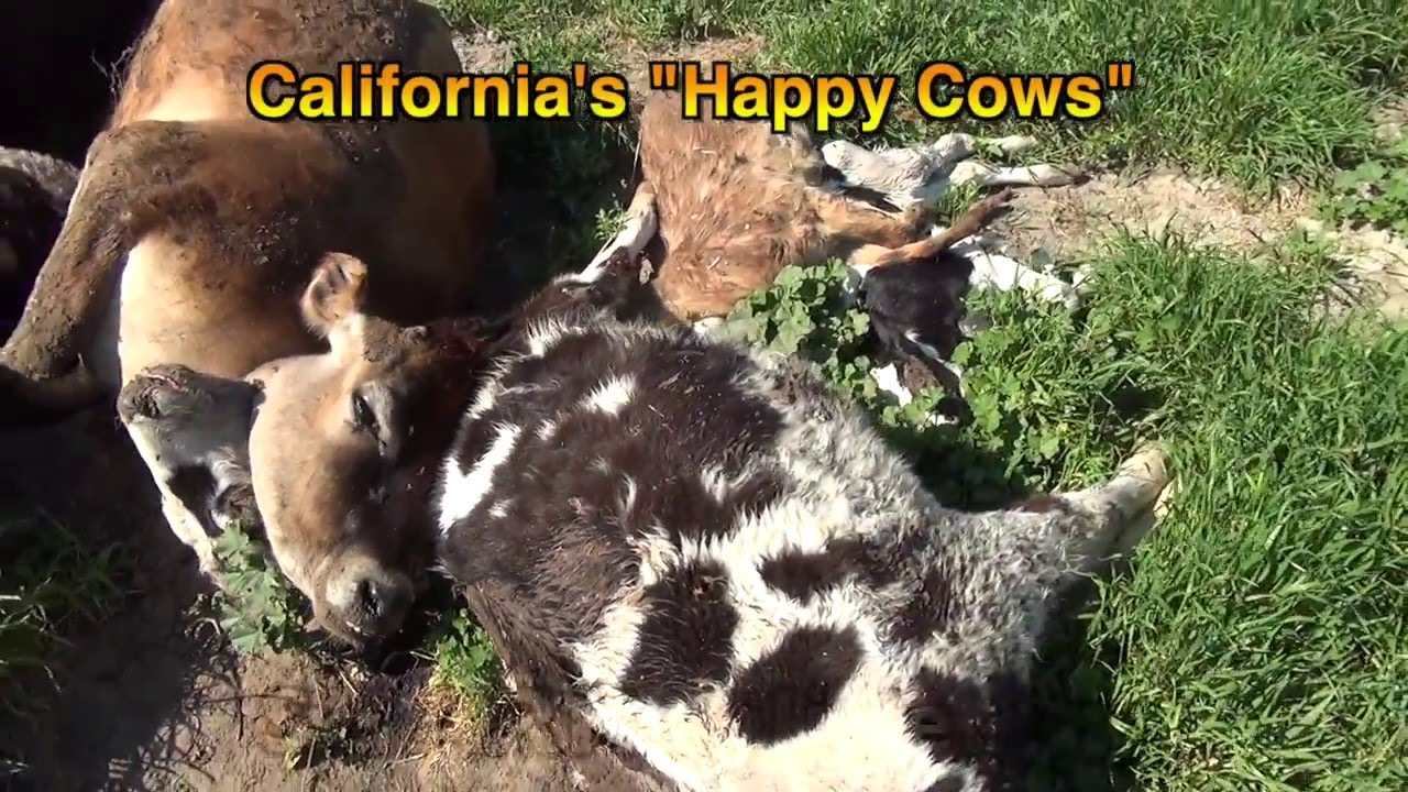 the california happy cows Los angeles, february 20, 2014 – just ten years after renowned television ads from the california milk advisory board showed cows standing in a field musing about how much happier heifers were in s.
