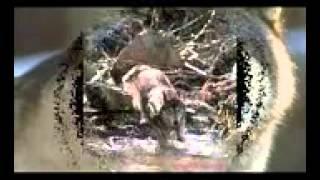 Волки Жизнь в дикой природе Серый волк
