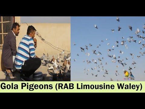 Gola Kabootar RIZWAN BHAI Ka Shoq 2nd Video - Gola Pigeons LOFT Visit