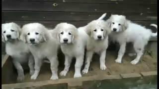 Клумба из Пиренейчиков (Щенки Пиренейской Горной Собаки)
