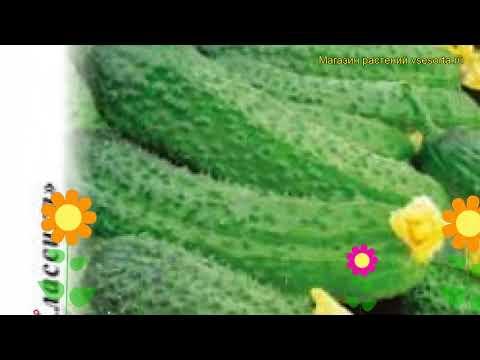 Огурец Аванс F1 (Огурец). Краткий обзор, описание характеристик, где купить семена cucumis sativus