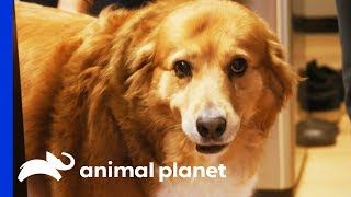 Brownie Cakes Is On A Mission To Lose Some Weight | My Big Fat Pet Makeover