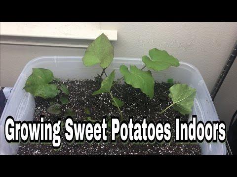 Growing Sweet Potatoes Indoors