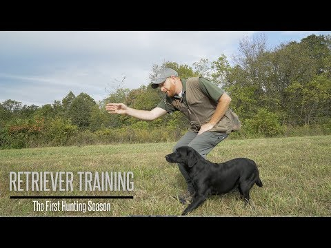 Labrador's First Hunting Season - Labrador Retriever Training