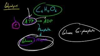 Biology Lecture - 32 - Glycolysis (Investment Phase)