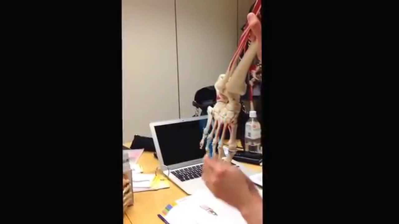 DFM2 anatomi fotens ben