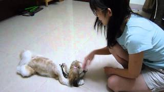 Coco The Smart Shih Tzu: 'pray', 'cry', 'cros Paw', 'dancing' And 'jump Over'