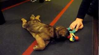 Commando Sid - 11 Week Old Border Terrier Puppy