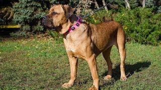 Cane Corso, Bullmastiff, Dalmatian And Labrador In Pink Leather Dog Collar