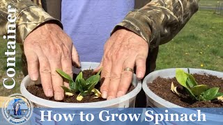 HD How To Grow Spinach In Containers