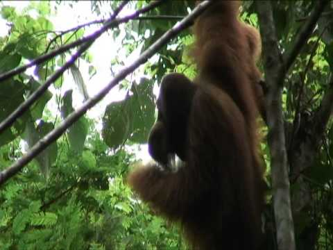 Orangutans use hand to sound big and scary
