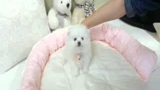 China ~ Precious Micro Teacup Female Pomeranian For Sale.