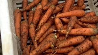 Sep 9. 2017. Банки/  Убрали морковь одну грядку/ Огурцы в парнике