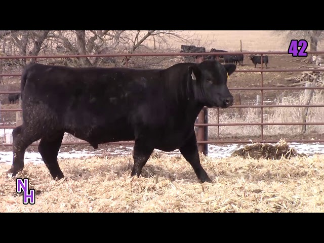 New Haven Angus Lot 42