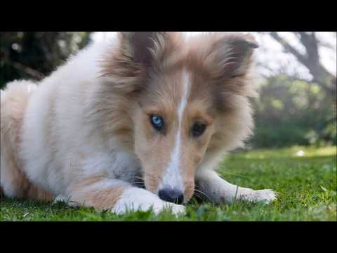 12 Fun Facts about Collies