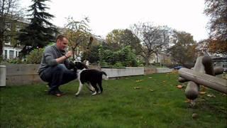Dog Training: 13 Weeks Old Border Collie. Javier Carvajal Dog Trainer London