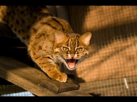 Rusty Spotted Cat !