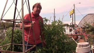 How to Grow Tomatoes : How to Grow Tomatoes